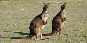 Travel-Australia-Tailormade-Luxury-Package-tour-wildlife
